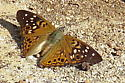 butterfly-2019-003 - Asterocampa celtis