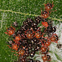 Shield-backed bug (Scutelleridae?) nymphs and egg cases - Thyanta