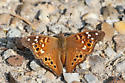Butterfly - Asterocampa leilia