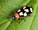 unidentified Chysomelidae - Omophoita cyanipennis