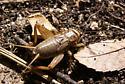 House Cricket? - Acheta domesticus - female
