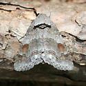 Moth - Zale obliqua