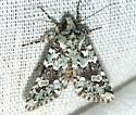 Moth - Lacinipolia strigicollis