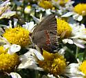 Small Brown Butterfly - Calycopis cecrops