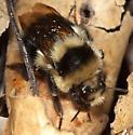 Bombus sp.? - Bombus melanopygus - female