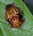 Physonota