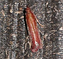 Tampa Moth  - Tampa dimediatella