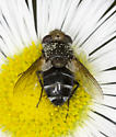 tachinid fly - Gonia