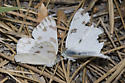 Checkered Whites male mobbing female - Pontia protodice - male - female