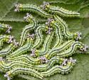 Caterpillars on hackberry - Asterocampa clyton