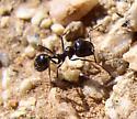 desert ant - Veromessor pergandei