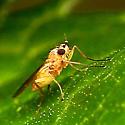 Strange little fly - Lonchoptera