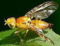 Fruit Fly? - Strauzia intermedia - female