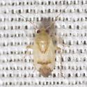 Plant Bug - Dagbertus fasciatus