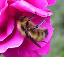 Another Golden Bee - Bombus flavifrons - male