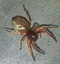 Broad Faced Sac Spider (Trachelas Tranguilus) - Trachelas