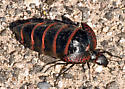 Very Large Black and Red Beetle - Megetra cancellata