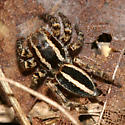jumping spider - Phlegra hentzi