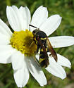Wasp - Leucospis affinis - female