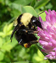 Bombus fervidus californicus - Bombus californicus - female
