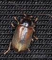 Coleoptera - Microcara explanata