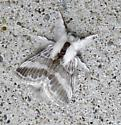 White and Brown Moth - Tolype