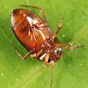Dytiscid - Hydrocolus stagnalis