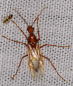 large red winged ant - Camponotus castaneus