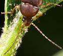 Beetle ID - Isomira