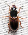 Beetle - Anisodactylus sanctaecrucis