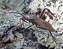 Brown Bug - Acanthocephala terminalis