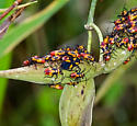 Seed Bug - ID please - Oncopeltus cayensis