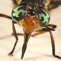 deer fly - Chrysops callidus - female