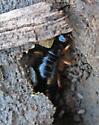 Anisolabis maritima? - Anisolabis maritima - female