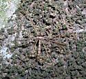 Camouflaged Crane Fly - Epiphragma solatrix