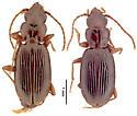 Bembidion nigropiceum - male