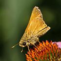 Sachem - Atalopedes campestris - male