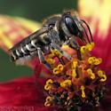 Alfalfa Leafcutter Bee - Megachile rotundata - female