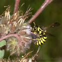 Female Pseudomasaris on Phacelia Mutabilis - Pseudomasaris zonalis - female