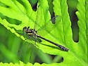 Northern Pygmy Clubtail at home - Lanthus parvulus - male