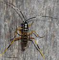 Black & white ichneumonid at lights - Diradops bethunei - female