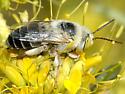 Apidae--possibly Centris? - Centris rhodopus