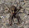 Black-spotted brown spider - Schizocosa