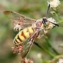Possibly Crioscolia flammicoma - Crioscolia flammicoma - male