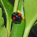 Twice-stabbed Lady Beetle - Chilocorus stigma
