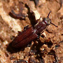 Cylindrical bark beetle - Pycnomerus haematodes