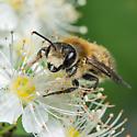 Unknown Bee - Megachile frigida