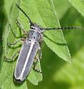 Beetle ID Request - Mecas pergrata