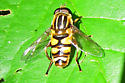 Helophilus sp. maybe? - Helophilus fasciatus - male