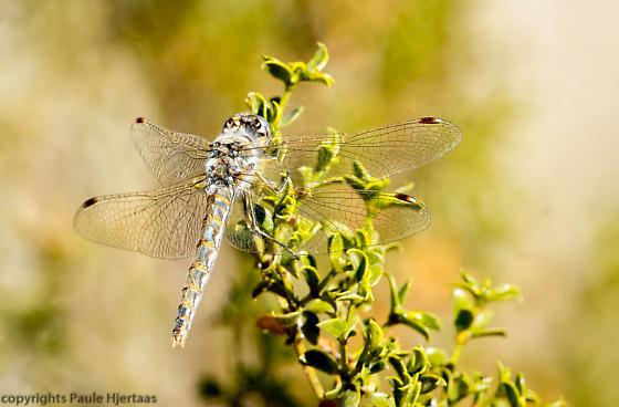Variegated Meadowhawk, Sympetrum corruptum, female from Ajo, AZ - Sympetrum corruptum - female